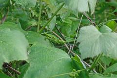 wild grapes (pepperberryfarm) Tags: grapes smcm135mmf35