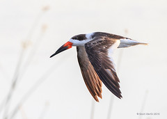 Skimmer Viera 2016_0624 (sugarzebra) Tags: bird canon inflight florida flight wetlands avian skimmer blackskimmer vireo skimming 1dx