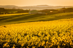 Sunset in Saarland and France 2016 (sebileiste) Tags: sunset france field yellow nikon frankreich shadows sonnenuntergang feld gelb tamron raps schatten 70200 bauernhof hof canola saarland d90