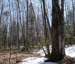 Two trees fusing (thepiper351) Tags: tree forest woodland spring woods scenery maine timberland