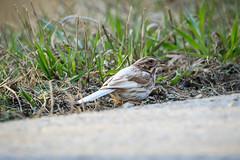 Leucistic Song Sparrow-5353G (Paul*Nelson) Tags: bird up michigan sparrow upperpeninsula wildbird leucistic michigansupperpeninsula
