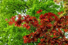 Acer (Sergio '75) Tags: red plants naturaleza plant green nature sergio canon garden outside outdoors oak natur natura shade acer canonef2470mmf4lisusm canoneos70d sergio75