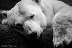 Polar Bear (maren.wetzer) Tags: bear blackandwhite bw animal canon zoo 300mm polar tamron eos6d