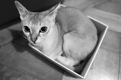 Leni (jubjubjub000) Tags: cat box caja gato katze singapura bote