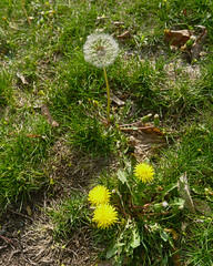P4226931 (Paul Henegan) Tags: flowers morninglight lawn dandelions blowball 54crop