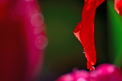 colours (doods-on on weekends) Tags: pink light orange flower green water drops bokeh dew l