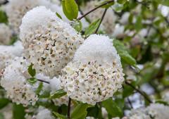 """""""Schneeball""""... / """"snow-balls"""" (Rainer Fritz) Tags: schnee natur snowball garten blten schgneeball"""