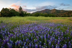 Tribute to Prince (Bob Bowman Photography) Tags: california flowers trees light sunset mountain field grass landscape oak nikon purple prince sonomacounty serene lupine