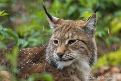 Luchs / Lynx (Doris & Michael S.) Tags: animals tiere luchs