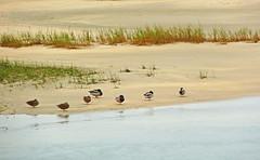 Protegiendose del frio (Luis M) Tags: animales patos bidasoatxingudi