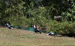 The three amigos sunbathing (Jenny Thynne) Tags: bird birds australia brisbane queensland magpie sunbathing australianmagpie tibicen gymnorhina sunningmagpies