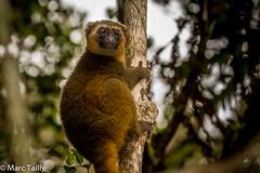 MarcTailly_mgb201508272981.jpg (hayastanlover) Tags: animals lemur mammals madagascar dieren primates ranomafana primaten zoogdieren