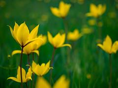 Tulipa sylvestris - wild tulip (rainerralph) Tags: flowers flower germany deutschland spring outdoor blumen olympus freyburg frühling fruehling sachsenanhalt tulipasylvestris wildetulpe blütengrund weinbergtulpe waldtulpe bluetengrund omdem5markii objektiv1240pro
