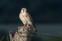 Nankeen Kestrel (chrissteeles) Tags: bird birding raptor falcon sa southaustralia kestrel birdofprey tanunda nankeenkestrel