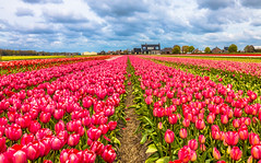 Tulipography in Lisse in the Netherlands (FraMeoFheSaM) Tags: flowers netherlands contrast canon tulips perspective pointofview wetland lowland lisse 70d lisser sigma1835
