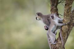Vervet Monkey (Matt Bango) Tags: africa wild nature animals southafrica mammal monkey superb wildlife superior winner wildanimals vervetmonkey djuma djumagamereserve