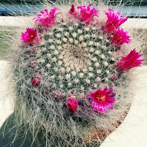 Cactus flowers (Explored)