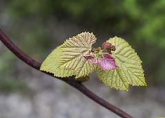 Grape Vine (zodia81) Tags: nature wv westvirginia grapevine masontown wildandwonderful gooutsideandplay deckerscreektrail beautyinthetinythings