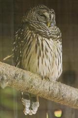 DUC_2526r (crobart) Tags: bird birds florida center owl prey raptors barred audubon maitland