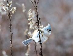 quabbinwinter2016-97 (gtxjimmy) Tags: winter bird water mouse nikon tit massachusetts newengland valley tufted quabbin tamron supply ware belchertown quabbinreservoir d7100 150600mm nikond7100