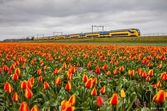 Red tulips (VTZK) Tags: flowers red holland green rot netherlands yellow train jaune rouge groen tulips ns nederland zug vert gelb grün geel rood bloemen trein tulpen tulipes virm hillegom reizigers
