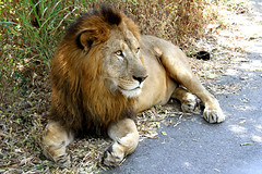 nothing else to upload (Aschevogel) Tags: india zoo bangalore lion aslan indien lwe hindistan banerghata