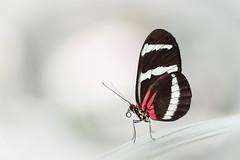 The red postman (fredvr (Fred van Rooijen)) Tags: butterfly insect butterflies vlinders vlinder nf heliconiuserato passiebloemvlinder theredpostman