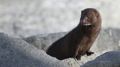 Does your mink(y) bite? (ricmcarthur) Tags: mammal mink sellers erieau ricmcarthur rondeauric rickmcarthur