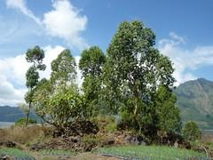 Gemseanbau in der Batur-Caldera - Baumgruppe; Bali, Indonesien (Chironius) Tags: trees bali tree indonesia rboles landwirtschaft boom arbres rbol albero bume arbre rvore baum trd indonesien batur aa