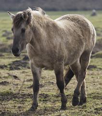 Konik-Pferde - 2016-008_Web (berni.radke) Tags: horse pferd konik konikhorses olfen steverauen konikpferde