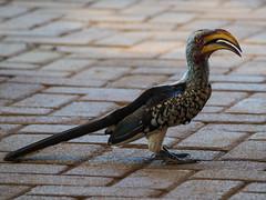 Sudafrica & Lesotho-450.jpg (Lorenzo Ruggieri) Tags: bird nature animal location sudafrica