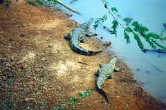 Crocodiles Questioning Existence (EmperorNorton47) Tags: africa morning autumn fall film beach analog photo pond outdoor wildlife senegal reptiles crocodiles nikonn8008 agfaphotoprecisa100 bandiaforestreserve