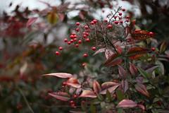 ナンテン (eyawlk60) Tags: winter plant canon eos 南天 nandinadomestica ナンテン