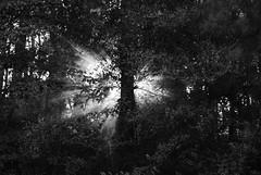 Lumos Maxima (B&W) (J Swanstrom (Thanks for +500K views!)) Tags: light bw sun sunlight tree leaves forest nikon ray branch glory trunk majesty maxima lumos d80 jswanstromphotography