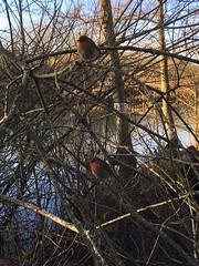 A Stack of Robins (thesetter) Tags: bird robin wildlife birding naturereserve nationalbird inquisitive redbreast brandonmarsh britainsnationalbird warwickshirewildlifetrust erithacusrubelcula