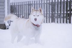 DSC_0666 (Adis Redzic) Tags: winter dog snow fun nikon husky kentucky siberian