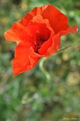 Ephemeral dancer (Chris Coeur) Tags: red flower fleur rouge flora prayer poppy meditation spirituality coquelicot roja amapola espiritualidad spiritualit mditation oracin meditacin prire