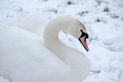 time for my close-up (gee_c2000) Tags: winter white snow cold bird ice swan