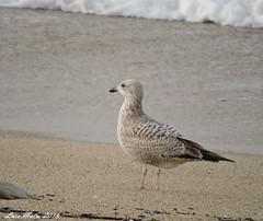 Gaivota prateada (Larus argentatus) (Luis.Mota) Tags: gull larusargentatus gaivota argentatus prateada gaivotaprateada