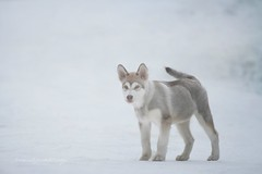 Manfred in the Fog (Martyna Og) Tags: winter dog snow forest puppy malamute foggyday wolfdog doginthefog wofl littlewolf