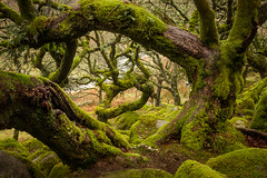 Wistman's Wood (s.pither) Tags: old tree green landscape moss ancient woods dartmoor gnarled moorland wistmanswood