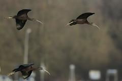 _HNS6883 Zwarte Ibis : Ibis falcinelle : Plegadis falcinellus : Brauner Sichler : Glossy Ibis