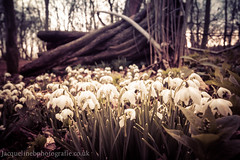 all white now (drjacquebaxter) Tags: trees white spring snowdrop brigitte imbolc
