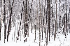 Get Bent (BryanNewland) Tags: trees snow tree forest woods bend michigan narnia serene upperpeninsula snowscape yooper hardwoods baymills rezlife snowywood puremichigan baymillsindiancommunity hardwoodstand