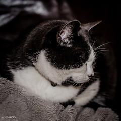 He's Listening!! (BGDL) Tags: sleeping milo serene weeklytheme niftyfifty nikond7000 bgdl afsnikkor50mm118g flickrlounge lightroomcc