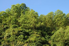 Landschaft in der Caldera des Batur; Bali, Indonesien (7) (Chironius) Tags: trees bali tree indonesia rboles boom arbres rbol albero bume arbre rvore baum trd indonesien batur aa