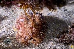 Cuttlefish (ShaunMYeo) Tags: night diving scubadiving gibraltar calpe underwaterphotography nightdive  gibilterra ikelite campbay      gibraltr  cebelitark gjibraltar ibraltaro hibraltar xibraltar giobrltar gibraltrs gibraltaras ibilt