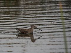 Short-billed Dowitcher (forwardbirds) Tags: playadelrey shortbilleddowitcherlimnodromusgriseus ballonafreshwatermarsh sbdo