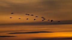 Retorn a la Llacuna (Aicbon) Tags: sunset orange naturaleza color bird nature sunrise canon atardecer eos crane cel aves cielo 7d aragon grua naranja teruel 100400mm tarde ocells bello gallocanta grulla ocell tornos grusgrus jiloca lascuerlas