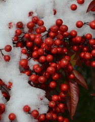 Red Berries and Snow (esywlkr) Tags: red snow weather nc berries north carolina wnc